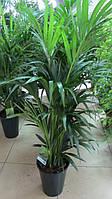 Пальма Кентия (Пальма Ховея) 1,8-2 метра