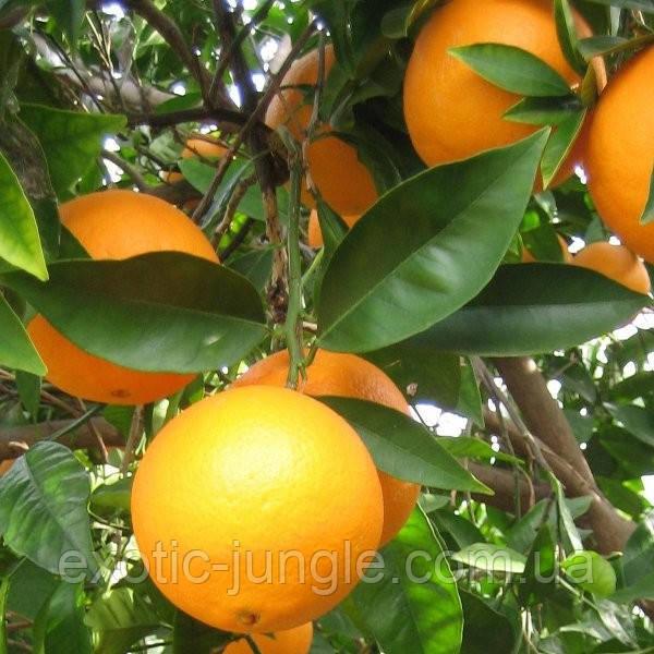 Апельсин Навелина (Citrus sinensis Navelina) 35-40 см. Комнатный
