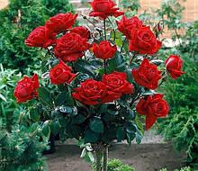 Розы - саженцы
