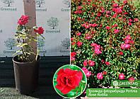 Роза Кордес флорибунда Ротилия (Rotilia), саженец 15-25 см (контейнер 4 л)