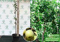 Яблоня ранняя, урожайная Антоновка, 1,2-1,6 метра (контейнер 12 л)