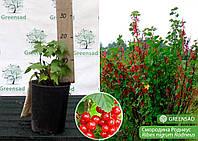 Смородина красная поздняя крупноплодная Роднеус, саженец 15-25 см