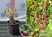 Крыжовник красный морозостойкий Безшипный, саженец 15-25 см