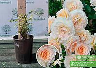 Роза английская Excalibur (Екскалибур), саженец 15-25 см
