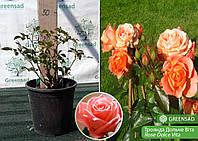 Роза чайно-гибридная Дольче Вита (Dolce Vita), саженец 15-25 см