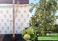 Яблоня Папировка, саженец 1,2-1,4 метра