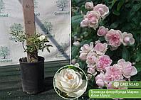 Роза флорибунда Марко (Marco), саженец 15-25 см (контейнер 4 л)