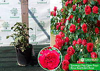 Роза парковая Ред Эден Роуз (Red Eden Rose), саженец 15-25 см (контейнер 4 л)