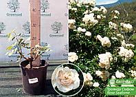 Роза Сиафом (Seafome), саженец 15-25 см (контейнер 4 л)