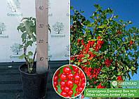 Смородина красная Йонкер ван Тетс (Jonker Van Tets), саженец 15-25 см (контейнер 5 л)