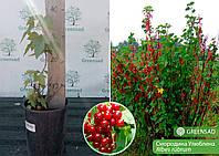 Смородина красная Улюблена, саженец 15-25 см (контейнер 3 л)