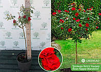 Роза штамбовая Хэппи Уандер (Happy Wanderer), саженец 70-80 см