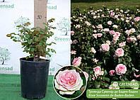 Роза Сувенир де Баден-Баден (Souvenir de Baden-Baden), саженец 15-25 см