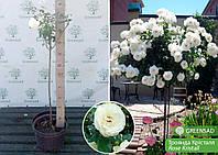 Роза штамбовая Кристалл (Kristall), саженец 70-80 см