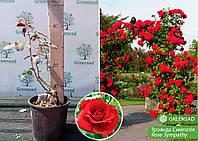 Роза плетистая Симпатия (Sympathy), саженец 15-25 см