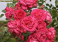 Роза Laguna (Лагуна) ADR Rose саженец