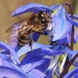 Фацелия семена — цветок-медонос, привлекает садовода своим очаровательным полевым цветком, фото 2