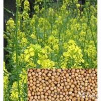 Горчица весовая белая (на сидераты)-восстанавливает бедные почвы
