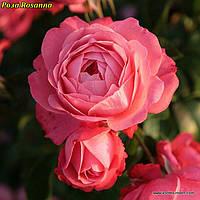Роза Rosanna (Розанна) саженец
