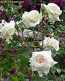 Роза Schwanensee (Лебединое озеро), фото 4
