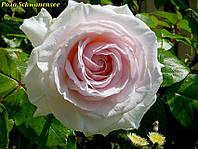 Роза Schwanensee (Лебединое озеро), фото 1