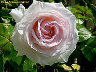 Роза Schwanensee (Лебединое озеро)