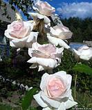 Роза Schwanensee (Лебединое озеро), фото 3