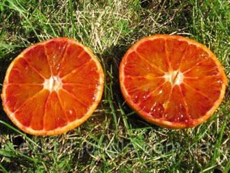 Мандарин Мандаред (Mandared) с красной мякотью 20-25 см. Комнатный