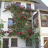 Роза Sympathie (Симпатия)