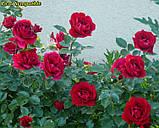 Роза Sympathie (Симпатия), фото 2