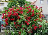 Роза Sympathie (Симпатия), фото 4