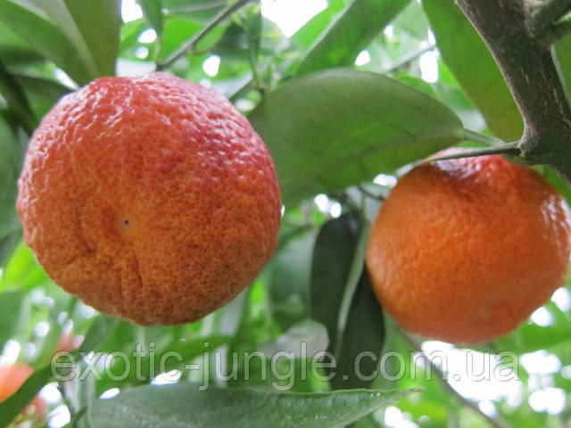 """Клементин """"AMOA 8"""" (C. clementina """"amoa 8"""") 20-25 см. с красной мякотью. Комнатный"""