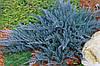 Можжевельник горизонтальный 'Blue Chip', контейнер С3 а-0.25