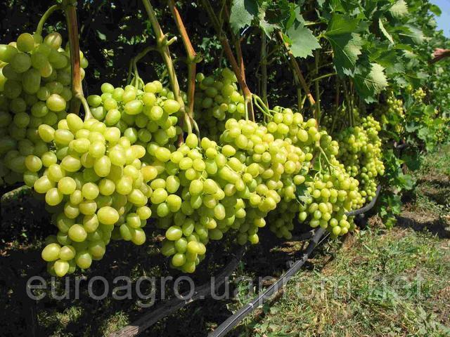 Одесскую область признали лидером по производству винограда