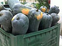 Гарбуз Лунга Пиена ді Наполі 10 з Euroseed (перефасовано Vse-semena)