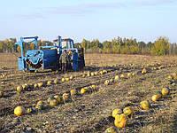 Услуги  комбайном выращивание тыквы.