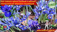 Как сажать ирисы осенью и весной: технология от опытных садоводов