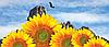 Насіння соняшнику НК РОКІ (Syngenta)