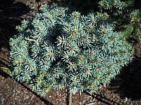 Ель колючая - Picea pungens Pali Pa (Pa 60 см, горшок 4л)