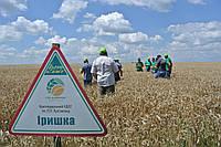 Иришка -  Семена пшеницы озимой от производителя Элитгосп им. Шевченко