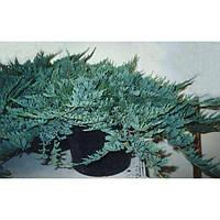 Можжевельник горизонтальный - Juniperus horizontalis Blue Chip (диаметр 15-20 см, горшок 2л)