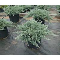 Можжевельник горизонтальный - Juniperus horizontalis Blue Chip (диаметр 30-40 см, горшок 7.5л)