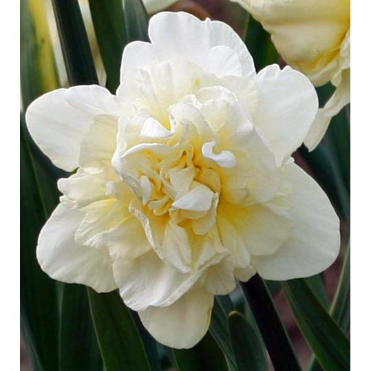 Нарцисс махровый Obdam 2 луковицы