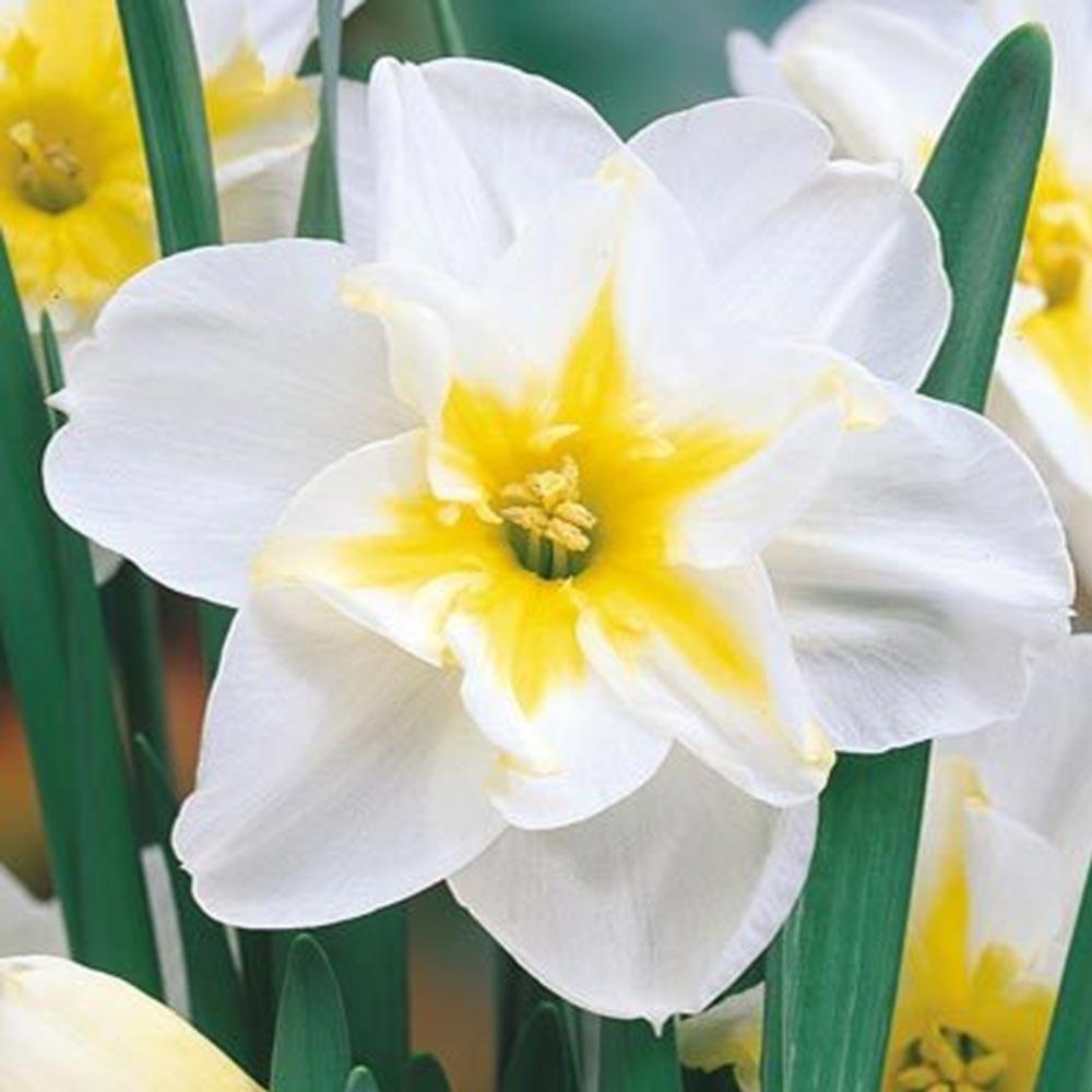 Нарцисс крупноцветковый Lemon beauty 2 луковицы