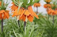 Рябчик (фритиллярия императорская), оранжевая
