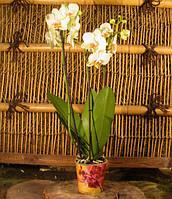 Фаленопсис Піко - Phalaenopsis piko 3 стрілки, фото 1