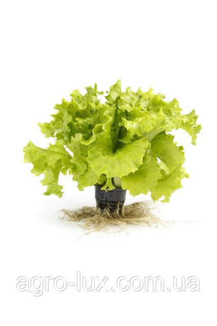 Семена салата Отили 1000с Rijk Zwaan / Рийк Цваан