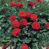 Саженцы роз Розендорм Шмидт Хаузен (красная)