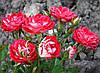 Роза Мейди. Бордюрная роза.