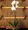Фаленопсіс мікс 1 стрілка Блідо рожевий